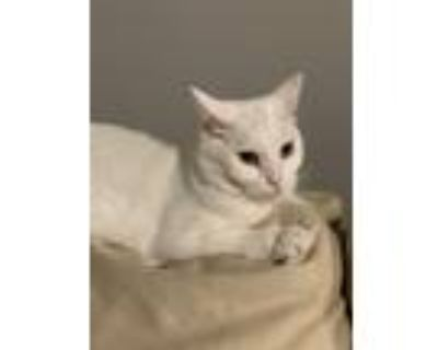 Adopt Buddy a White Domestic Shorthair / Mixed (short coat) cat in North