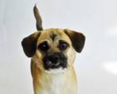 Adopt CHARLIE a Brown/Chocolate - with Black Pug / Mixed dog in St.