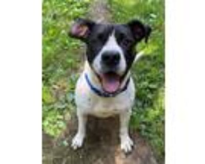 Adopt Daisy a American Pit Bull Terrier / Mixed dog in Glenfield, NY (32060923)