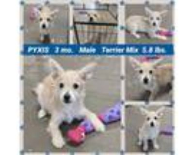 Adopt PYXIS a Terrier