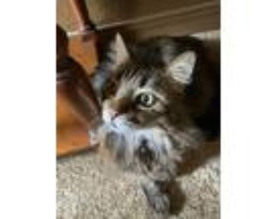 Adopt Diego a Brown Tabby Calico / Mixed (long coat) cat in Colorado Springs