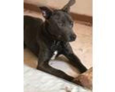 Adopt Jonah a Gray/Blue/Silver/Salt & Pepper Labrador Retriever / Mixed dog in