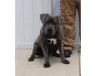 Adopt FOUR SQUARE a Gray/Blue/Silver/Salt & Pepper Cane Corso / Mixed dog in
