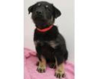 Adopt Lemmie a Rottweiler, Mixed Breed