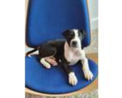 Adopt Comet a Black - with White American Staffordshire Terrier / English