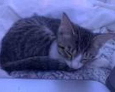 Adopt Walter a White Domestic Shorthair / Domestic Shorthair / Mixed cat in