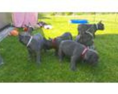 trained french bulldog puppies for sale