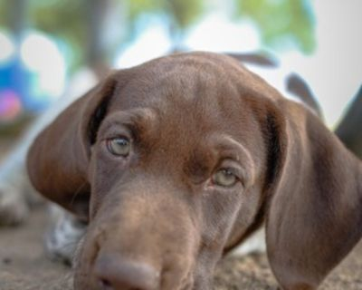 German Shorthaired Pointer Puppy for Sale - Hans Akc