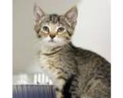 Adopt Zara a Gray or Blue Domestic Shorthair / Domestic Shorthair / Mixed cat in