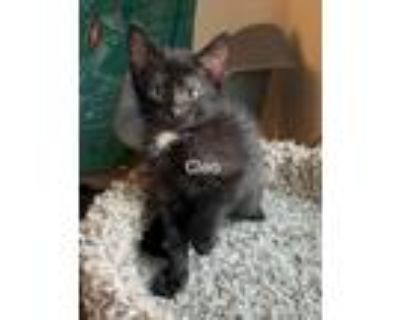 Adopt Cleo a Black (Mostly) Domestic Shorthair (short coat) cat in Mansfield