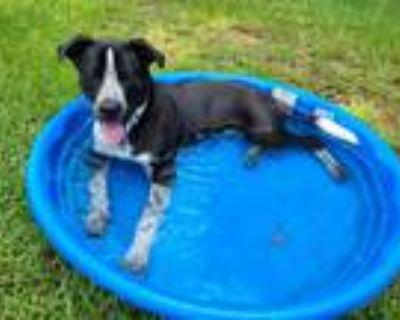 Adopt Asher a Labrador Retriever / Pointer / Mixed dog in Little Rock