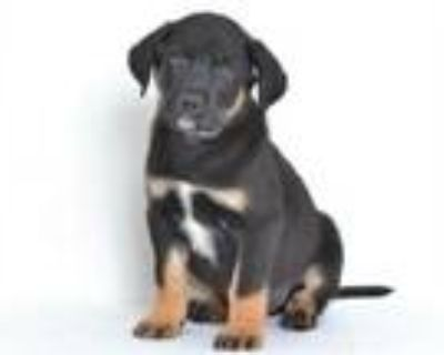 Adopt A591028 a Rottweiler, Labrador Retriever