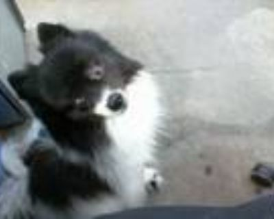 Adopt STRAY a White - with Black Pomeranian / Mixed dog in Dallas, TX (32136678)
