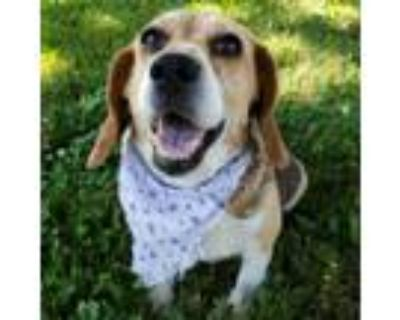 Adopt Lucy a Beagle, Mixed Breed