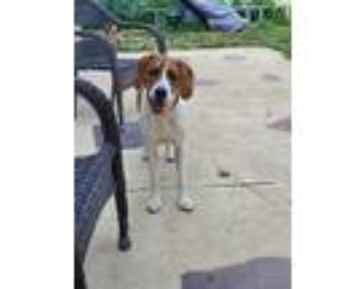 Adopt Dixie a Brindle - with White Boxer / Hound (Unknown Type) / Mixed dog in