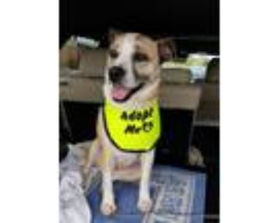 Adopt Felicity a Tan/Yellow/Fawn - with White Hound (Unknown Type) dog in