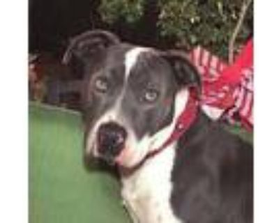 Adopt AWESOME HANDSOME HERCULES a Staffordshire Bull Terrier