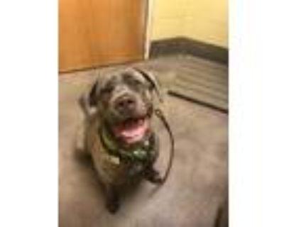 Adopt PLUM a Brindle Cane Corso / Mixed dog in Upper Marlboro, MD (31532805)