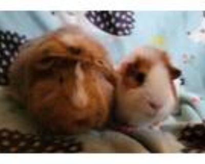 Adopt Rachel & Phoebe a Teddy, Abyssinian