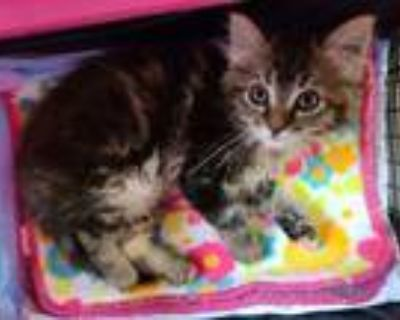 Adopt Mabel a Maine Coon