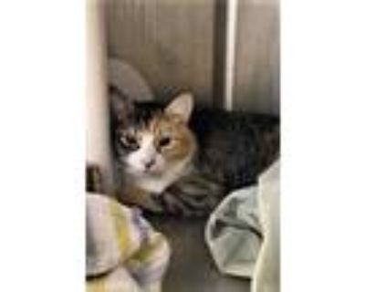 Adopt Mia a Orange or Red Domestic Shorthair / Domestic Shorthair / Mixed cat in