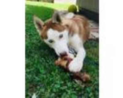 Adopt Jade a Tan/Yellow/Fawn - with White Husky / Mixed dog in Kenmore