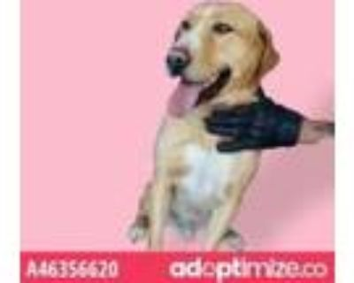 Adopt Buster a White Retriever (Unknown Type) / Mixed dog in El Paso