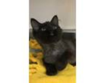 Adopt 655028 a All Black Domestic Shorthair / Domestic Shorthair / Mixed cat in