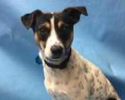 Adopt Charles a White Rat Terrier / Mixed dog in Coon Rapids, MN (31483196)