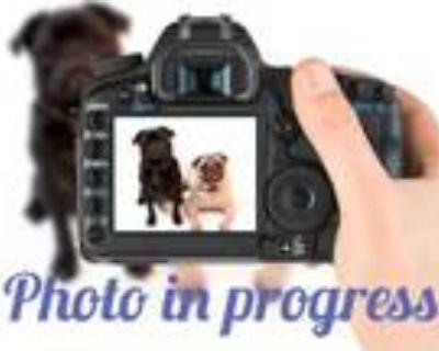 Adopt MUSTARD a Labrador Retriever