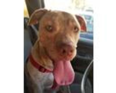 Adopt Arson a Tan/Yellow/Fawn - with White American Pit Bull Terrier / Mixed dog