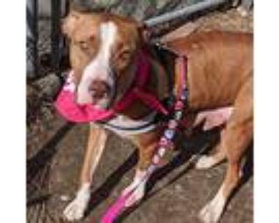Jolene, Pit Bull Terrier For Adoption In Boston, Massachusetts