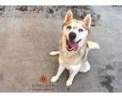 Adopt COCO a Brown/Chocolate - with White Husky / Mixed dog in Garland