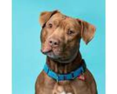 Stewart, Pit Bull Terrier For Adoption In Columbia, Illinois