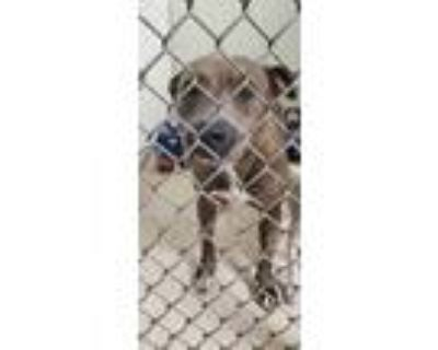 Adopt Cassie a Brindle American Pit Bull Terrier / Mixed dog in Raeford