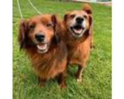 Adopt Boston a Brown/Chocolate Labrador Retriever / Beagle / Mixed dog in