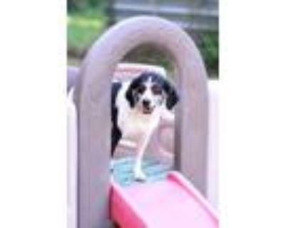 Adopt KASEY a Beagle, Hound