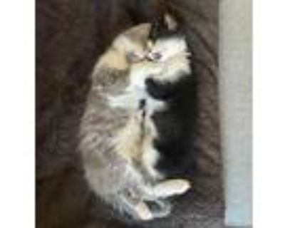 Klimt And Chagall, American Shorthair For Adoption In Los Angeles, California