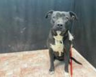 Adopt NOIRE a Black - with White American Pit Bull Terrier / Mixed dog in