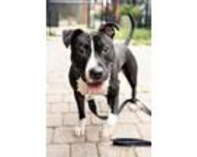 Adopt Skye a Pit Bull Terrier, Mixed Breed