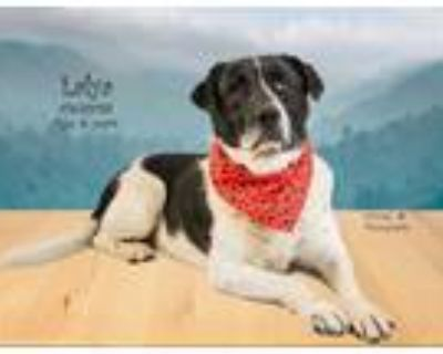 Adopt Dog a White - with Black Border Collie / Mixed dog in Thousand Palms