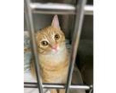 Adopt Poncho a Orange or Red Domestic Shorthair / Domestic Shorthair / Mixed cat