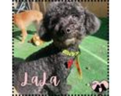 Adopt Lala a Black Toy Poodle / Mixed dog in Chandler, AZ (31582197)