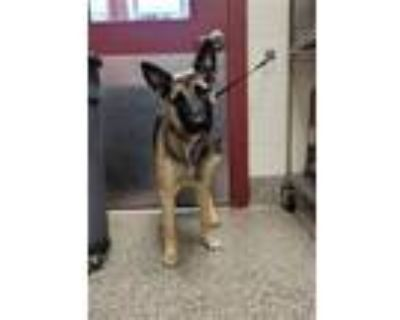 Adopt KIMBER a German Shepherd Dog, Mixed Breed