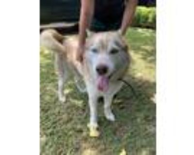 Adopt adopted a Tan/Yellow/Fawn Husky / Mixed dog in Fort Worth, TX (31638177)