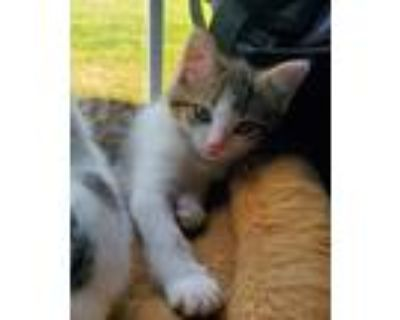 Adopt Thor a Spotted Tabby/Leopard Spotted Ocicat / Mixed (medium coat) cat in