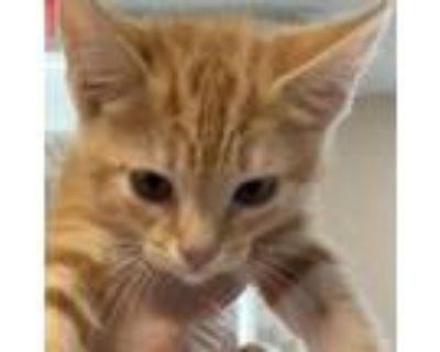 Adopt Nick - ATL a American Shorthair