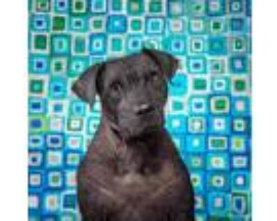 Adopt Madelyn a Gray/Blue/Silver/Salt & Pepper American Pit Bull Terrier / Chow