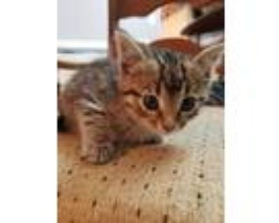 Adopt YELLOW a Brown Tabby Domestic Shorthair / Mixed (short coat) cat in