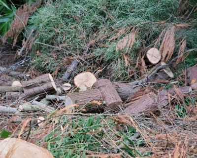 Alaska cedar wood cut to rounds nune smell when cut